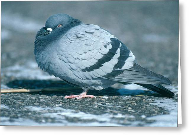 Pigeon In Winter Greeting Card by Paul J. Fusco