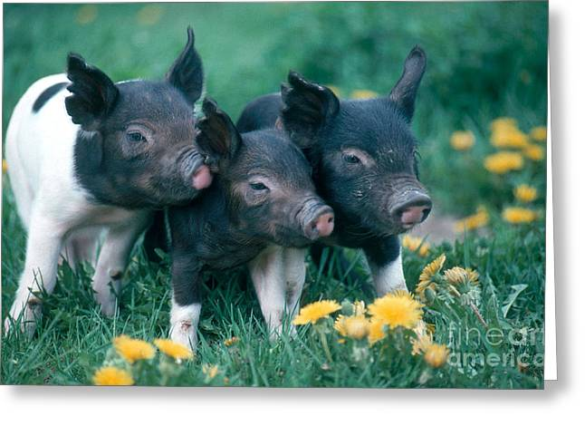 Piglets Greeting Card by Alan and Sandy Carey