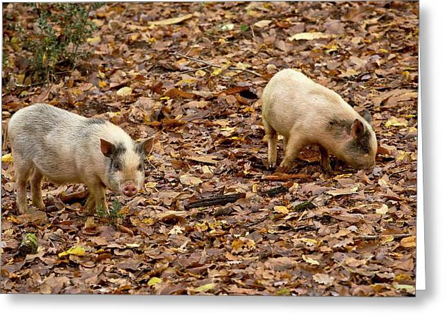 Pigs Foraging Greeting Card