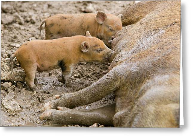 Pigs Reared For Pork On Tuvalu Greeting Card by Ashley Cooper