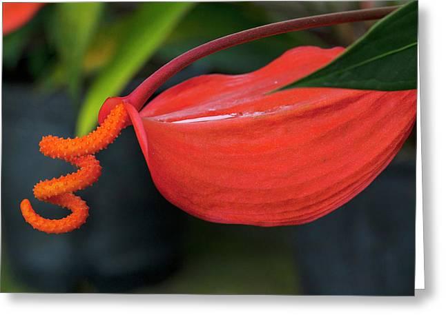 Pigtail Anthurium, Kula Botanical Greeting Card
