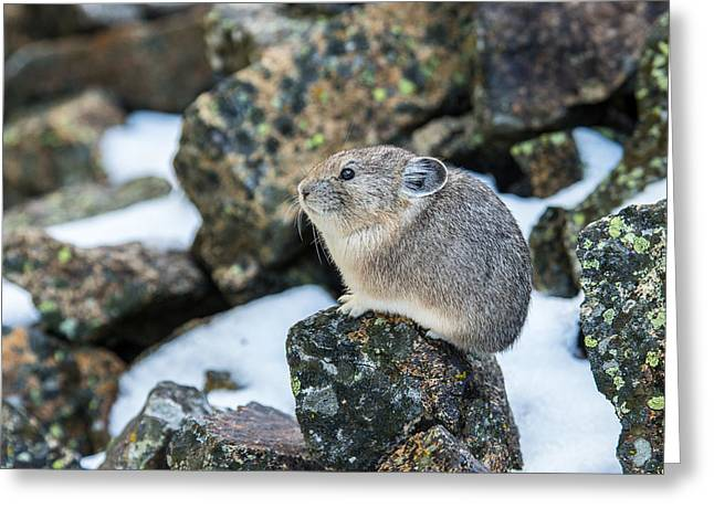 Pika In The Park Greeting Card by Yeates Photography