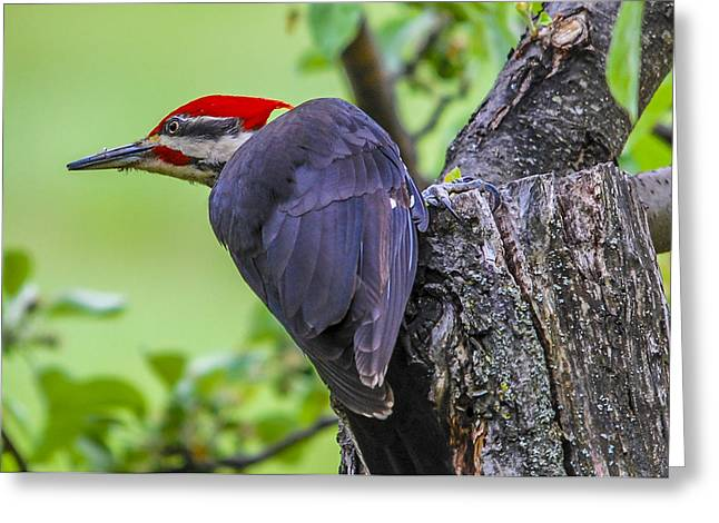 Pileated Stare Greeting Card