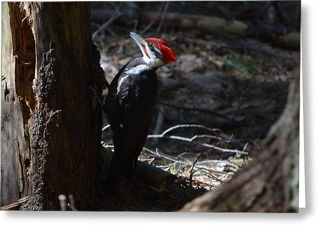 Pileated Woodpecker Greeting Card by James Petersen