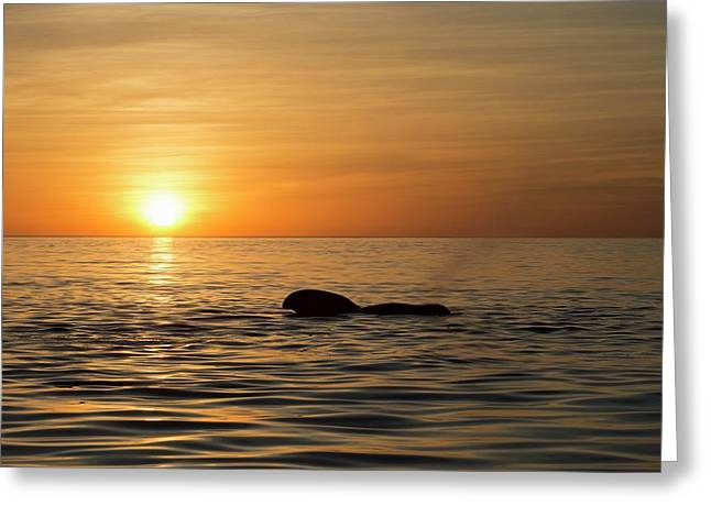 Pilot Whale At Dawn Greeting Card by Christopher Swann