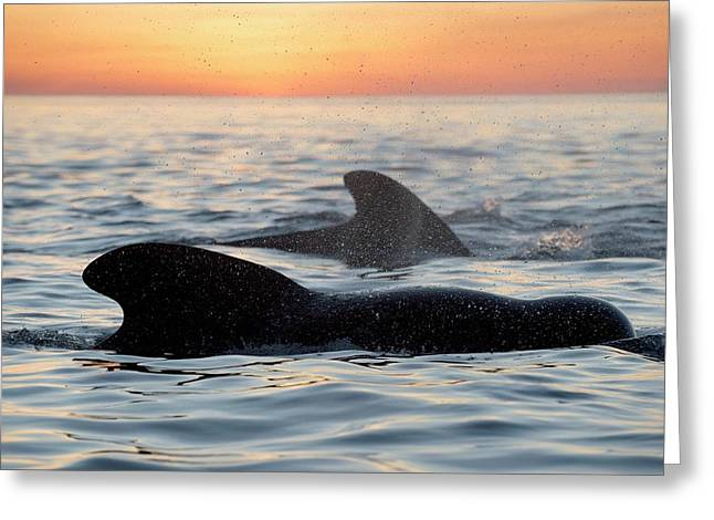 Pilot Whales At Dawn Greeting Card by Christopher Swann