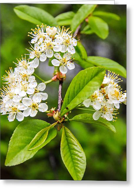 Pin Cherry Blossoms Greeting Card by Susan Crossman Buscho