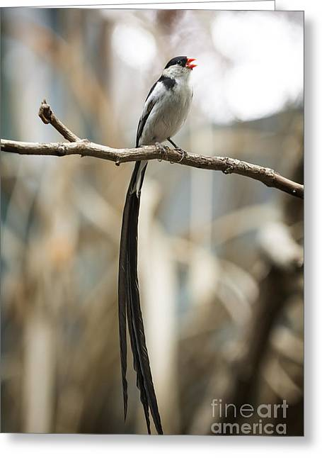 Pin-tailed Whydah Greeting Card by Michael Shake