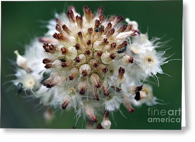 Pincushion Daisy Going To Seed Greeting Card by Susan Schroeder