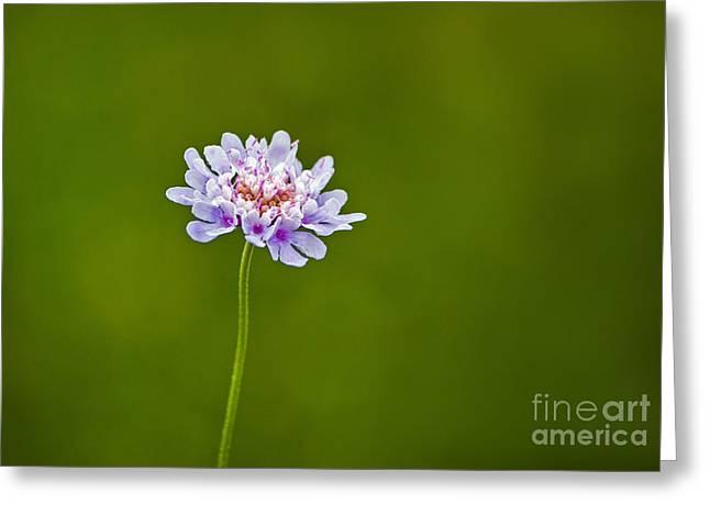 Dwarf Pincushion Flower Greeting Card by Bel Menpes