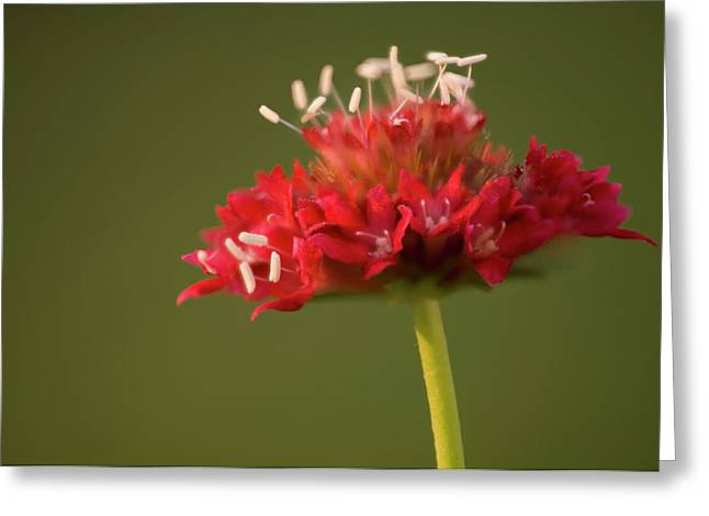 Pincushion Flower (scabiosa Caucasica) Greeting Card