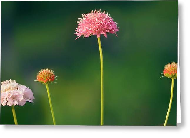 Pincushion Flowers (scabiosa Caucasica) Greeting Card