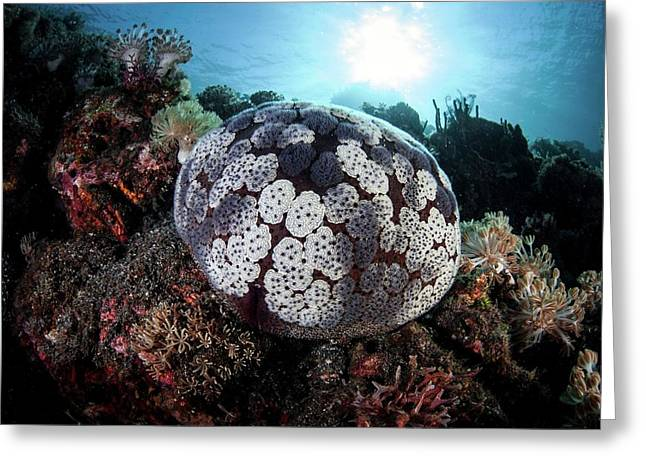 Pincushion Seastar Greeting Card by Ethan Daniels