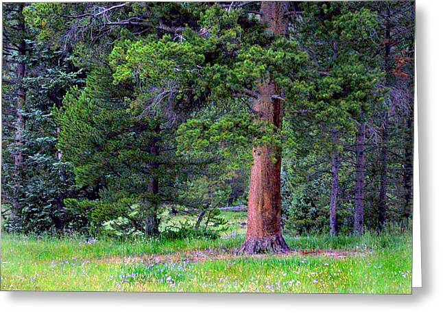 Pine At Rocky Mountain National Greeting Card