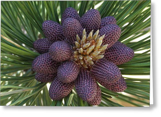 Pine Birth  Greeting Card