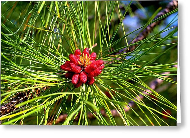 Pine Bud Greeting Card