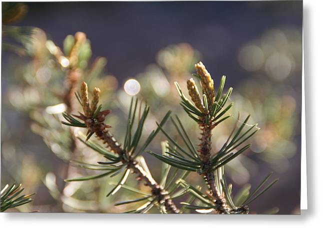 Greeting Card featuring the photograph Pine by David S Reynolds