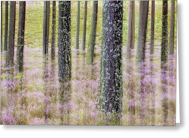 Pine Forest And Heather Cairngorms Np Greeting Card