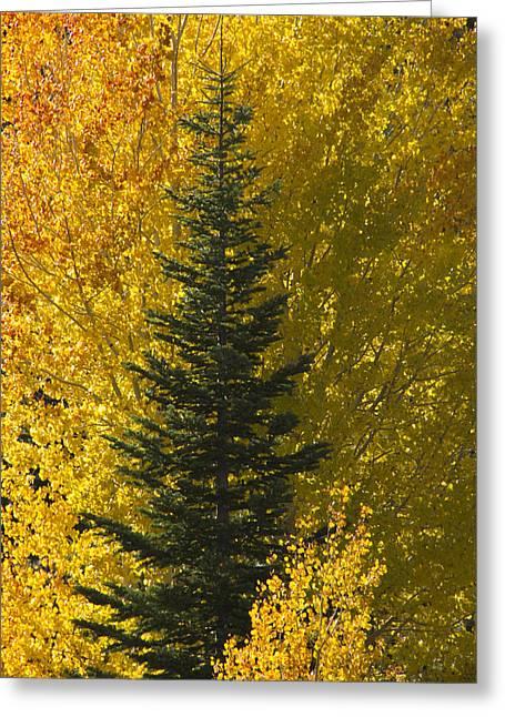 Pine In Aspens Greeting Card