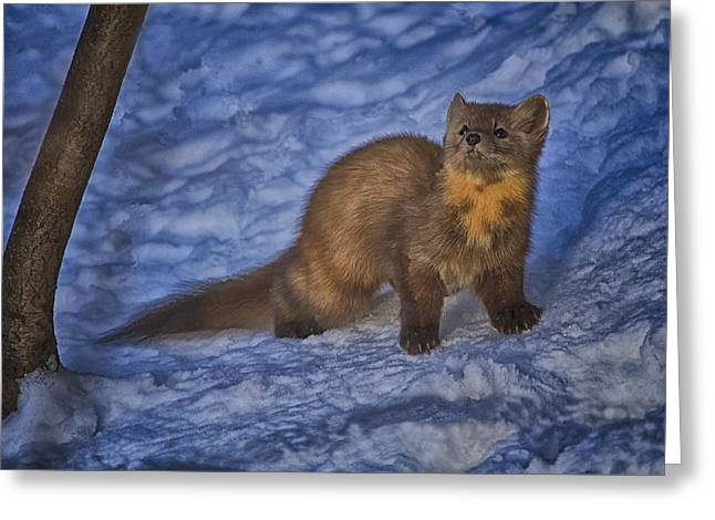 Pine Marten Hdr Greeting Card by Gary Hall