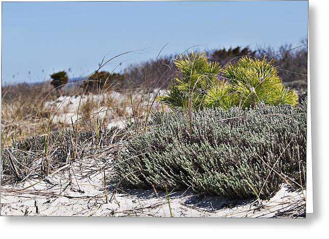 Pine On The Sand Dune Greeting Card
