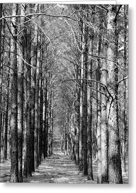 Pine Plantation Greeting Card by Betty Northcutt