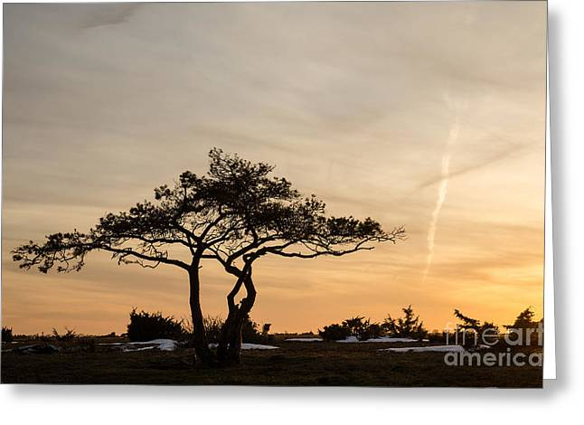 Greeting Card featuring the photograph Pine Tree Portrait by Kennerth and Birgitta Kullman