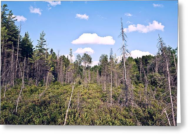 Greeting Card featuring the photograph Pine Trees Forest by Marek Poplawski