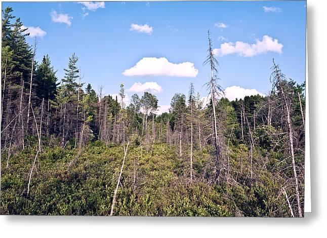 Pine Trees Forest Greeting Card by Marek Poplawski