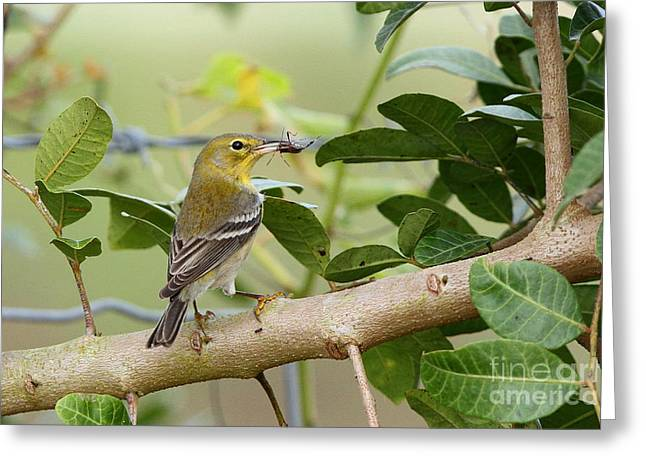 Pine Warbler With Lunch Greeting Card
