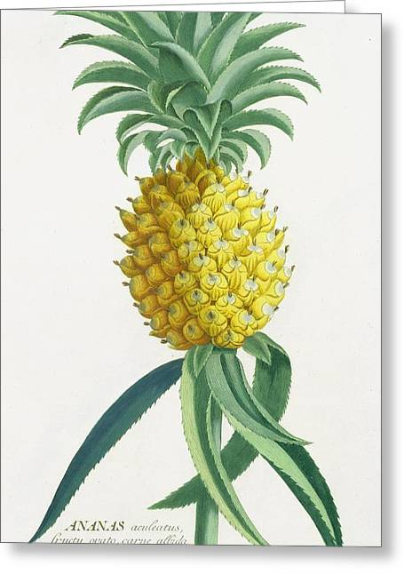 Pineapple Engraved By Johann Jakob Haid Greeting Card