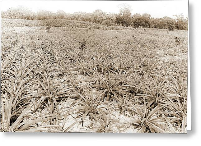 Pineapple Field At Eden, Jackson, William Henry, 1843-1942 Greeting Card by Litz Collection