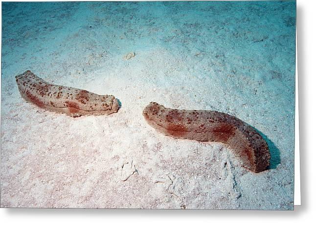 Pineapple Sea Cucumbers Greeting Card by Louise Murray