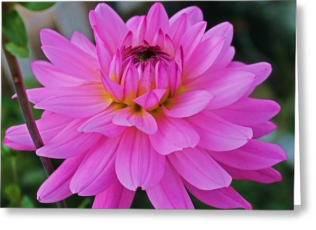 Pink And Beautiful Greeting Card by Victoria Sheldon