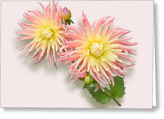 Pink And Cream Cactus Dahlia Greeting Card by Jane McIlroy