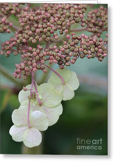 Pink And Green Hydrangea Closeup Greeting Card by Carol Groenen