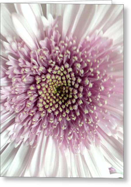 Pink And White Chrysanthemum Greeting Card