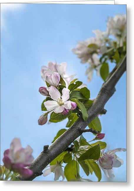 Pink And White Crabapple Flowers Greeting Card by Laura Berman