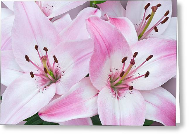 Pink And White Lilies Greeting Card by Jane McIlroy