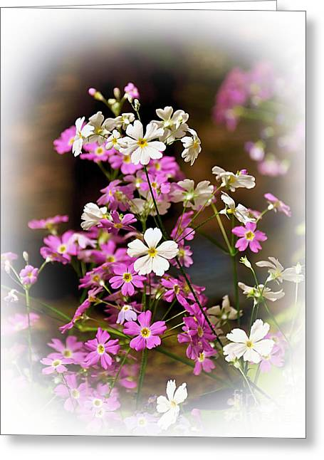 Pink And White Primrose Greeting Card by Kaye Menner