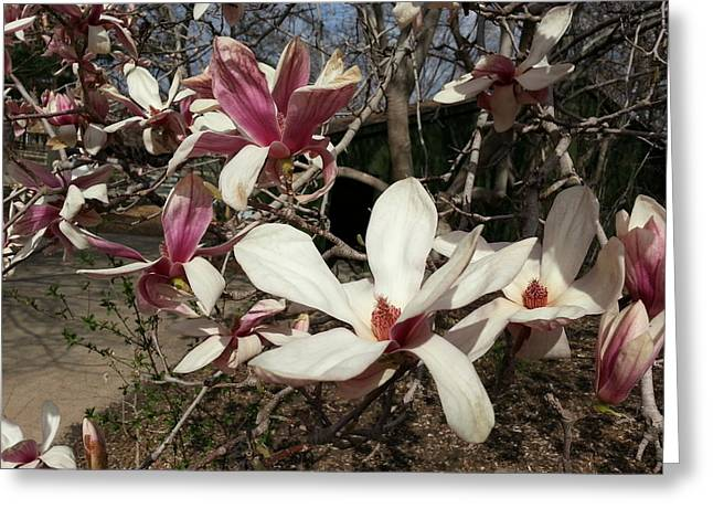 Greeting Card featuring the photograph Pink And White Spring Magnolia by Caryl J Bohn