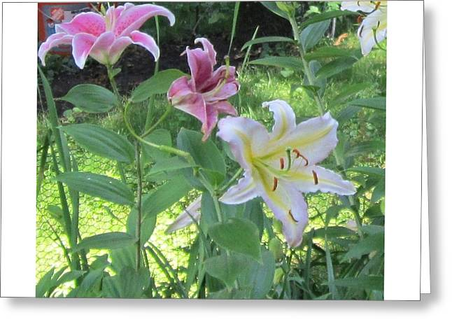 Pink And White Stargazer Lilies Greeting Card