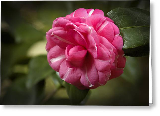 Greeting Card featuring the photograph Pink And White Stripped Camellia by Penny Lisowski