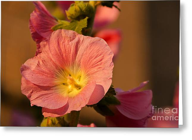 Greeting Card featuring the photograph Pink And Yellow Hollyhock by Sue Smith