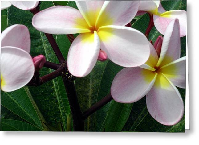 Greeting Card featuring the photograph Pink And Yellow Plumeria by Karen Nicholson