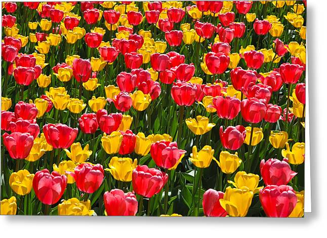Pink And Yellow Tulips Greeting Card by Rob Huntley