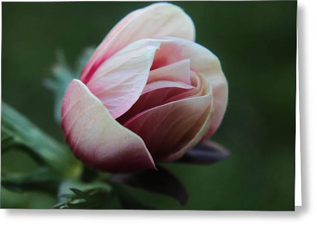 Pink Anemone Flower Bud Greeting Card by Carol Welsh