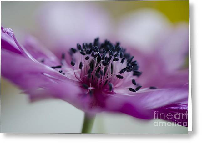 Pink Anemone  Greeting Card by Nicole Markmann Nelson