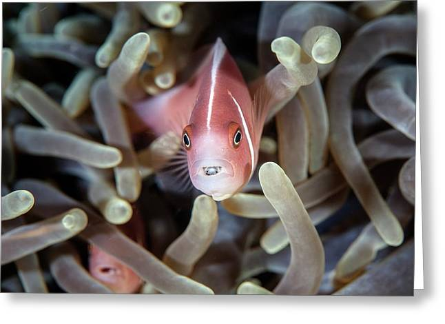 Pink Anemonefish And Tongue Parasite Greeting Card by Ethan Daniels