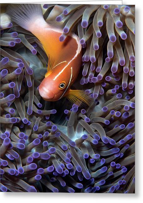 Pink Anemonefish Greeting Card by Louise Murray